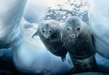 Weddell seal and pup (c) D. Allan
